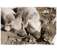 Pigs in Mud Poster