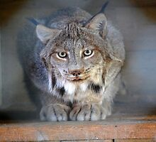 Amazing Canadian Lynx by PhotoMagikPix