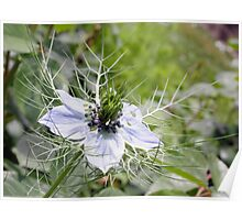 Village Love-in-a-Mist Poster