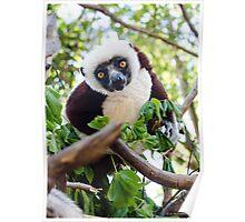 Curious lemur Poster