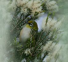 Silvereye in a Honey Myrtle Shrub by Wilderful