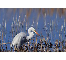 White Egret Fishing Photographic Print