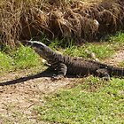 Lace Monitor taking a stroll. Port Macquarie, Nth. Coast, N.S.W. by Rita Blom