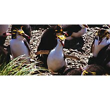 Royal Penguin Running The Gauntlet Photographic Print