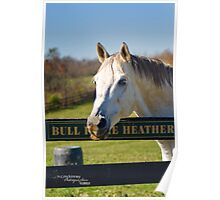 Bull InThe Heather Poster