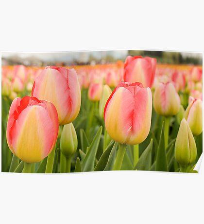 Tulip Field Trio Poster