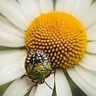 Colorful stink bug by Celeste Mookherjee