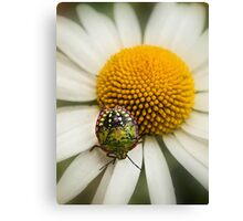 Colorful stink bug Canvas Print
