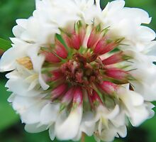 White and red clover blossom by fotosbykarin