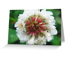 White and red clover blossom Greeting Card