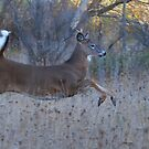 On Prancer! - White-tailed Buck by Jim Cumming