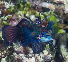 Mandarinfish by Mark Rosenstein