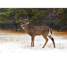 Buck in Snow - White-tailed Deer Photographic Print