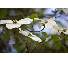 dogwood blooms  Photographic Print