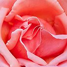 Pink Rose by Alastair Creswell