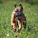 Boxer Summer Run by SpiceTree