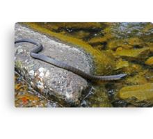 Swimming Tiger Snake Canvas Print