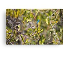 Fairy Wren (Female) Canvas Print