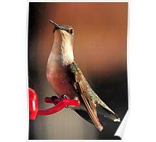 Tranquil Hummingbird Poster