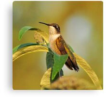 Sunset Hummer Canvas Print