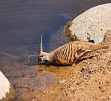 Spinifex Pigeon by Nick Delany