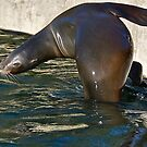 SEA LION  by Sassafras