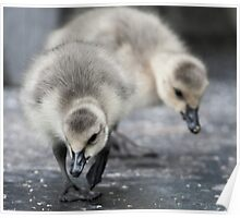Canadian Goslings Poster