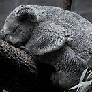 Koala by jude walton