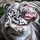 Siberian Tiger by jude walton