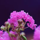 Pink Frills by KirstyStewart