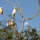 Corellas at rest by indiafrank