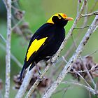 Regent Bowerbird (Male) taken at Lamington NP by Alwyn Simple