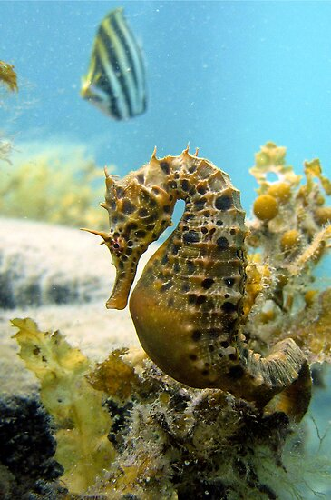Seahorse and friend by Stephanie Johnson