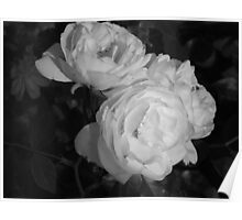 Rose in monocrome Poster