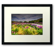 The Lupins in Lindis Pass Framed Print