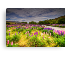 The Lupins in Lindis Pass Canvas Print