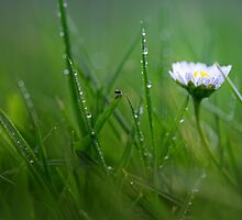 Daisy in the wet grass... by Bob Daalder