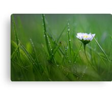 Daisy in the wet grass... Canvas Print