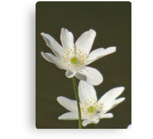 Two cute, white flowers Canvas Print