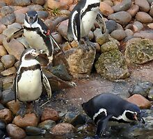 Penguin's by amylw1