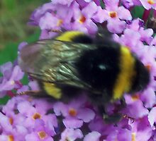Bumble bee on Buddleigha by amylw1