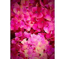 Pink Hydrangeas Photographic Print