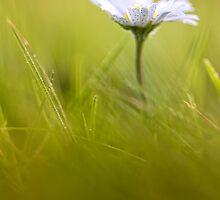 Sweet Daisy! by Bob Daalder