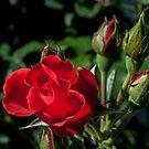 rose by jude walton