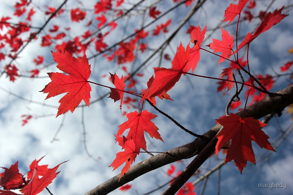 Maple Red 2 by marybedy
