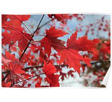 Maple Red 3 Poster