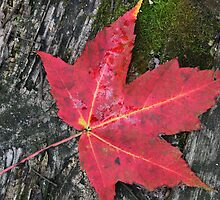Red Maple Leaf and Moss by marybedy