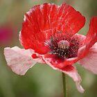 this poppy by ANNABEL   S. ALENTON