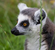 Ring Tailed Lemur by ensell