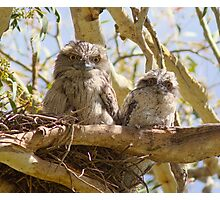 First Day On The Big Branch  Baby Tawny Frogmouth  Photographic Print